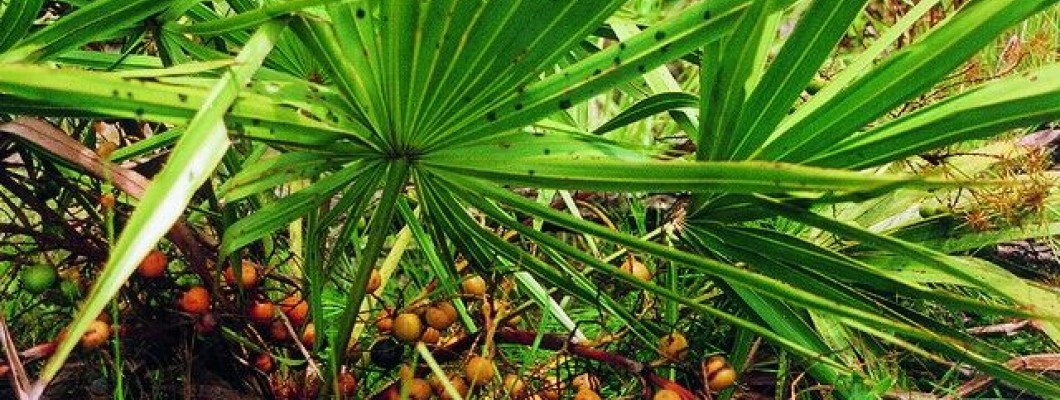 Saw Palmetto (Not Only) For Prostate problems